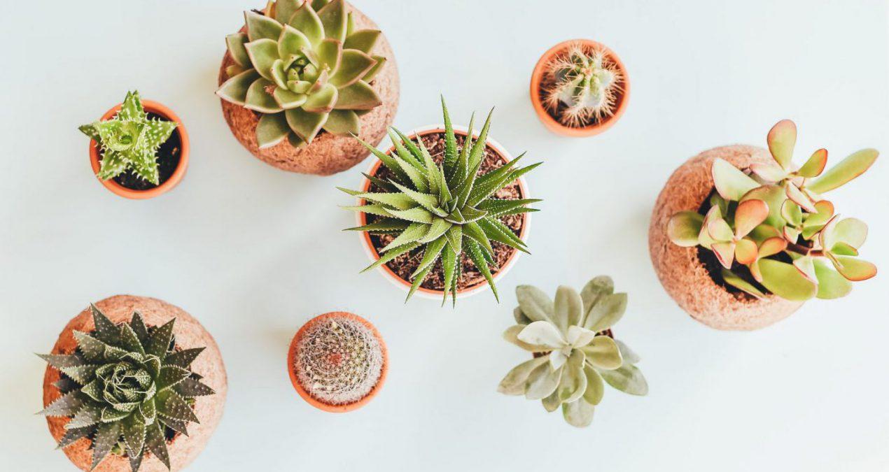 5 Datos interesantes sobre los Cactus